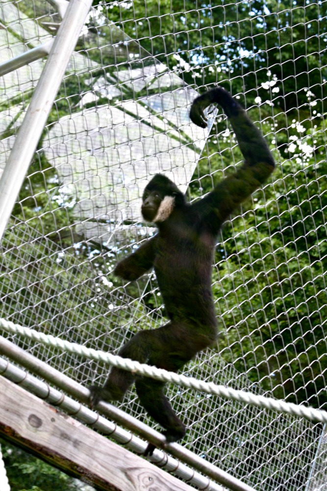 One armed gibbon