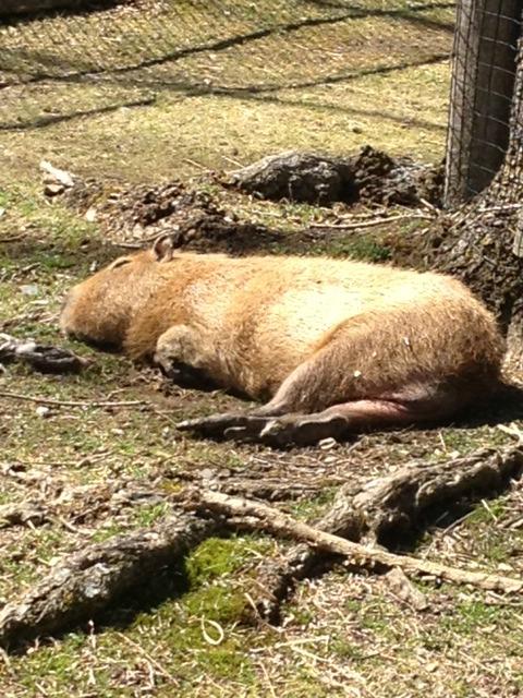 Lazy capybara