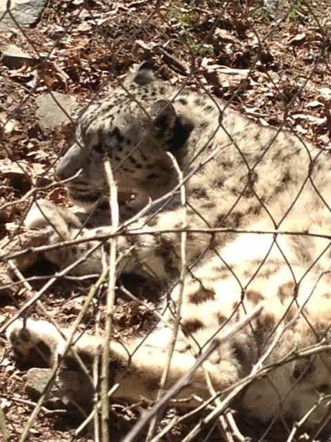 Snow leopard close